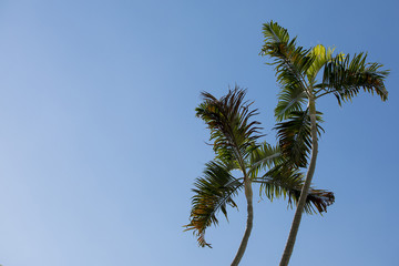 Tropical coconut trees against a very blue sky
