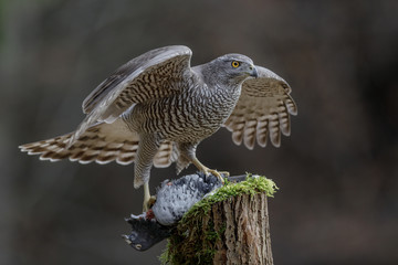 Impressive goshawk with prey