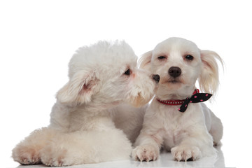 lovely white bichon kissing his brother