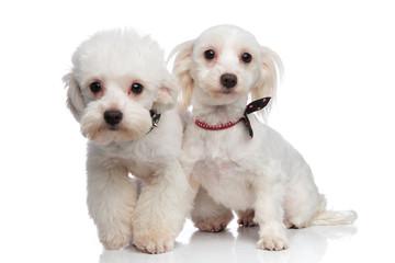 adorable white bichon couple wearing collars