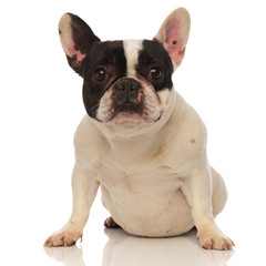 french bulldog with funny looking ears sitting