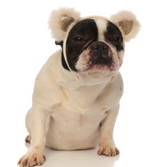 grumpy french bulldog wearing bear ears headband