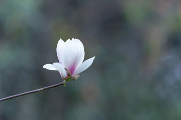 Magnolia denudata flowers in springtime in Chengdu, China