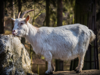Male white goat standing on a rock