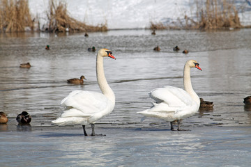 Pair of white mute swans (Cygnus olor) standing on ice in early spring