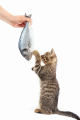 Kitten looking at sea bream fish which gives it a woman's hand on a white background