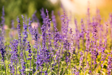Lavenders in a warm color background