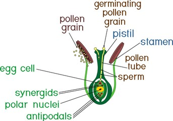 Structure of pistil and stamens in the section at the time of double fertilization