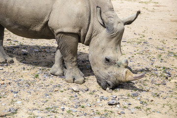 white rhinoceros with injuries on the muzzle
