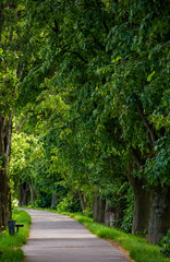 walking path under the Linden tree crowns. lovely nature background