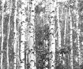 Black-and-white photo of forest landscape with birches