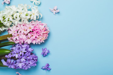 hree multicolored flowering hyacinth flowers on a blue background. Springtime concept