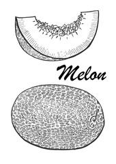 Hand drawn illustration of melon. Botanical food illustration. Vector illustration with sketch fruit.