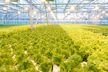 Growing vegetables in a greenhouse. Plantations of green salad.