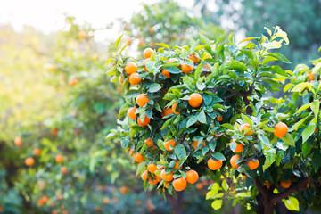Mandarin tree with ripe fruits. Mandarin orange tree. Tangerine. Branch with fresh ripe tangerines and leaves image. Satsuma tree picture, soft focus.