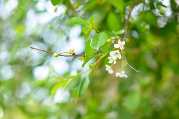 Fresh green leaves and flowers of cherry tree, spring or summer beautiful nature background. Cherry-tree.