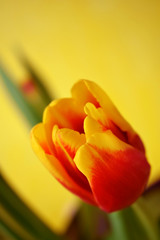 Close up of a red tulip on yellow background