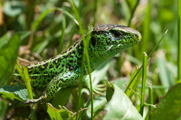 Green nice lizard in the grass