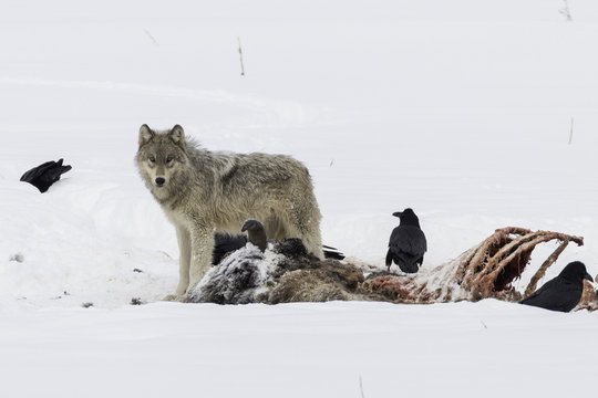 Wolf pup feeding on a bison