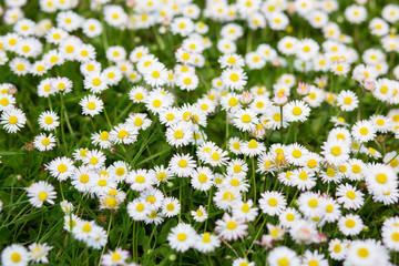 Spring meadow with blooming daisy. Beautiful chamomile, nature background, image toned.
