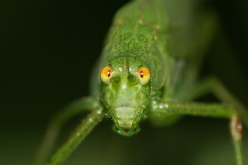 Macro front view of Caucasian green grasshopper with long mustache and large eyes