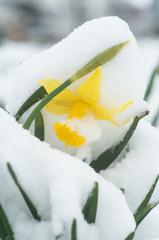closeup of daffodils covered by snow in public garden
