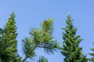 Cedar cone grows on a branch in the forest, against the background of firs and blue skies.