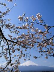Cherry Blossoms and Mt. Fuji, view from Lake Kawaguchi, Japan