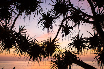 Pandanus odorifer palm tree on the sunset background. Thailand, Phuket.