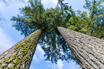 Look up two tall and straight trees with cloudy blue sky