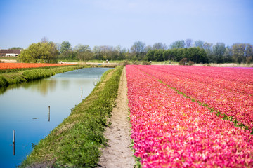 Blossom tulip flowers on colorful countryside field in Holland