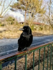 A crow in a park