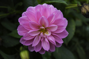 Dahlia flowers are beautiful, have a striking appearance, and are extremely popular worldwide.