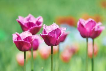 Wall Mural -  Beautiful spring tulips.
