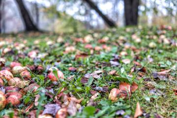 Many fallen wild fresh apples on grass ground bruised on apple picking farm closeup