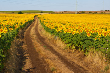 the road through the blossoming fields of sunflowers