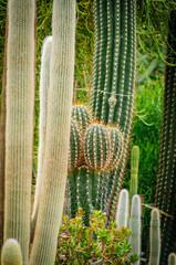 Large cactus Cephalocereus senilis with long hair