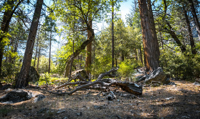 Forest in the Yosemite Valley. Travel to Yosemite National Park, California, USA