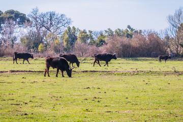 Les taureaux noirs de Camargue