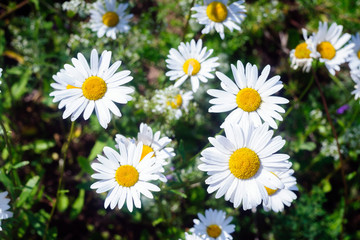 Wild daisies in the green grass.