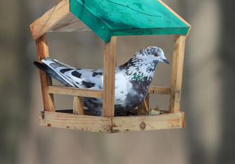 pigeons eat seeds in a winter feeding trough