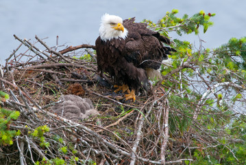 Bald Eagle in the nest, with baby chick sleeping. British Columbia, Canada.
