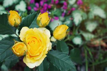 Yellow Rose Blooming in Garden