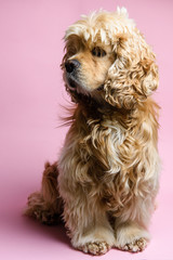 Portrait of an cocker spaniel on a pink background