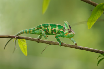 Colorful chameleon walking on tree branch with green background. Yemen chameleon lizard.