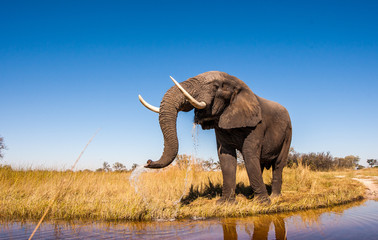 Wild African Elephant with a Blue Sky