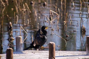 羽を広げ日差しを浴びるカワウ