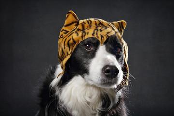 chien Border Collie avec bonnet de tigre