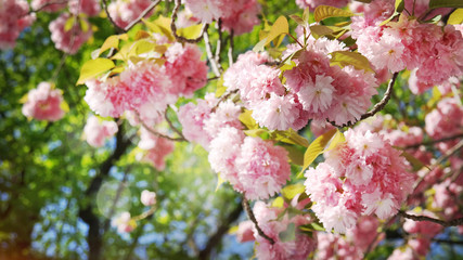 Double Cherry Blossom Flowers