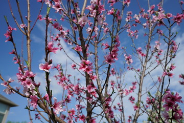 Peach tree with blossoms during spring time near Dallas, Texas